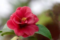 Camellia Arkivbild