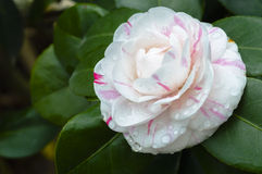 Free Camellia Royalty Free Stock Images - 36686149