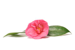 Camellia. Pink Camellia flower with two green leaves Royalty Free Stock Photos