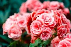 Free Camellia Stock Photo - 49115880