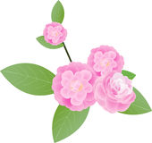 Camellia. Vector illustration pink Camellia flower Stock Images