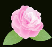 Camellia. Pink Camellia flower with two green leaves Stock Photo
