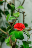 camellia Fotos de Stock Royalty Free