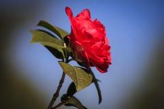 camellia Imagem de Stock
