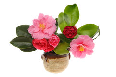 Camellia arrangement Royalty Free Stock Photography