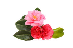 Camellia arrangement Stock Photo