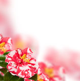 Camellia background Royalty Free Stock Photography