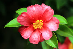 Camellia Royalty Free Stock Photography