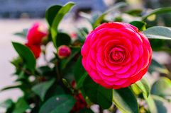 A camellia. A beautiful camellia under the sun Royalty Free Stock Photography