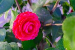 A camellia Stock Photos