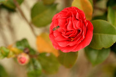 The Camellia and Bee Royalty Free Stock Photos