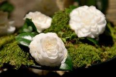 Camellia blommor, utställning arkivbilder