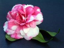 Free Camellia Bloom Stock Photo - 12770