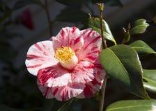 Camellia Bloom Imagen de archivo
