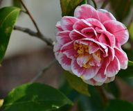 Camellia. Blooming camellia blooming in the garden Stock Photography
