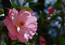 Camellia. Blooming camellia blooming in the garden Stock Photo