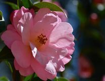 Camellia. Blooming camellia blooming in the garden Royalty Free Stock Photo