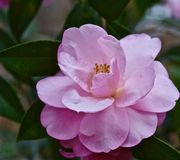 Camellia. Blooming camellia blooming in the garden Royalty Free Stock Photography