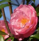 Camellia. Blooming camellia blooming in the garden Stock Images
