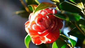 Camellia stock video