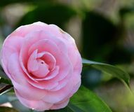 Camellia blooming. In the garden Stock Images