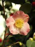 Camellia. Blooming in the greenhouse Royalty Free Stock Photo