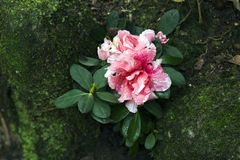 Camellia blossom in the rut on the banks of the creek Royalty Free Stock Image