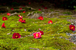 Camellia Blossoms Lizenzfreies Stockbild