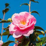 Camellia Blue Sky Stock Photography