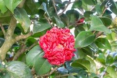 Camellia (Bobby Fain) Royalty Free Stock Photography