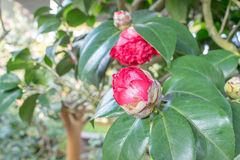 Camellia (Bobby Fain) Royalty Free Stock Photo