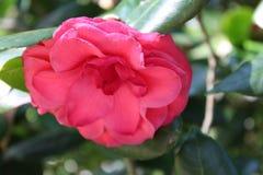 Camellia. Bok tower garden. Flower stock photos
