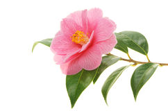 Camellia and branch. Camellia flower and branch isolated on white royalty free stock photography