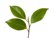 Camellia branch. With leaves isolated on white Stock Images