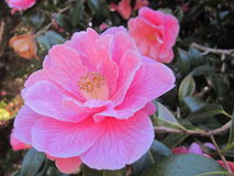 Camellia. Bright pink Camellia from a Cornish garden Royalty Free Stock Photo