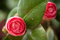 Camellia bud. With leaf in the tree Stock Image