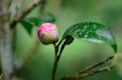 The Camellia Bud stock photos