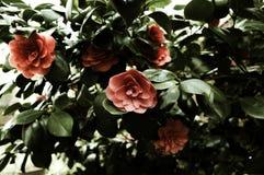 Camellia Bush oscura Fotos de archivo