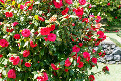Camellia bush with red flowers in sunny spring day Stock Images
