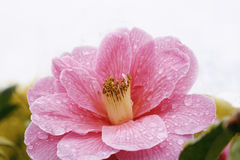 Camellia Royalty Free Stock Image