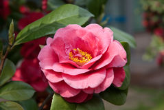 Camellia. A camelia flower in park Stock Image