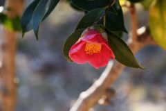Camellia. Flowers blooming in winter Royalty Free Stock Photography