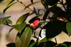 Camellia. Flowers blooming in winter Stock Images
