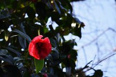 Camellia. Flowers blooming in winter Royalty Free Stock Image