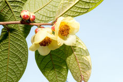 Camellia (Camellia impressinervis Chang et C.Y. Liang) Stock Photography
