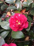Camellia. Is the Camellia, Camellia is a variety of plants and horticultural varieties known. Petals are bowl-shaped, sub-single or double flap, single-leaf Royalty Free Stock Photo