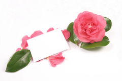 Camellia and card. Camellia flower,petals and blank card Royalty Free Stock Images