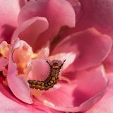 2013 camellia and caterpillar-1. A caterpillar on a flower Royalty Free Stock Photo