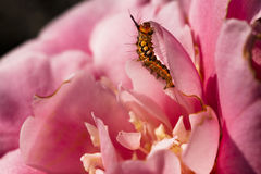 2013 camellia and caterpillar-6. A caterpillar on a flower Royalty Free Stock Images