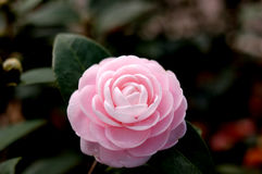 Camellia (in the center) Stock Images